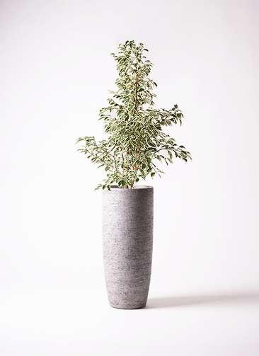 観葉植物 フィカス ベンジャミン 8号 スターライト エコストーントールタイプ Gray 付き