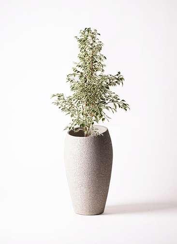 観葉植物 フィカス ベンジャミン 8号 スターライト エコストーントールタイプ Light Gray 付き