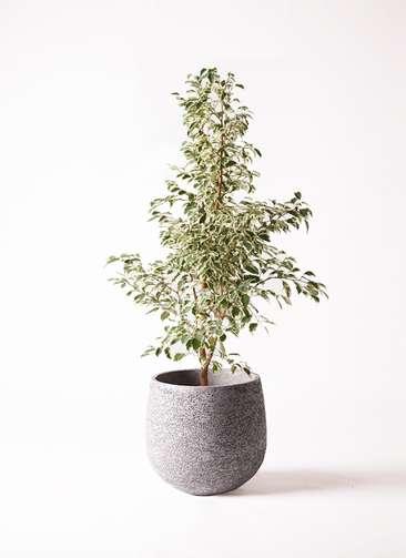 観葉植物 フィカス ベンジャミン 8号 スターライト エコストーンGray 付き
