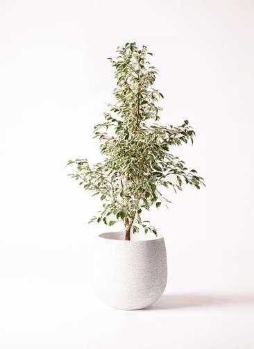 観葉植物 フィカス ベンジャミン 8号 スターライト エコストーンwhite 付き
