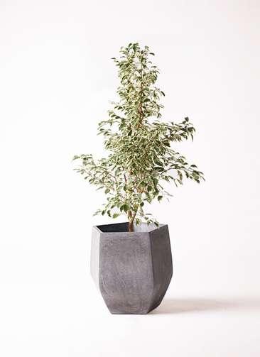 観葉植物 フィカス ベンジャミン 8号 スターライト ファイバークレイ Gray 付き