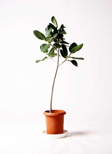 観葉植物 フィカス ベンガレンシス 8号 ストレート プラスチック鉢
