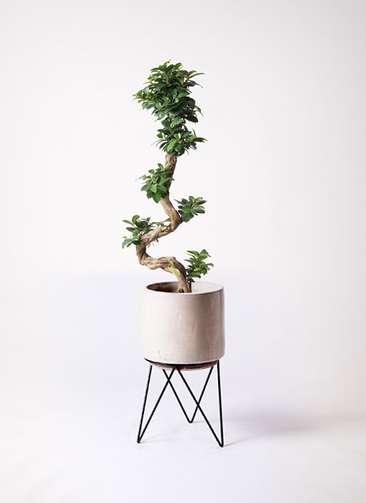 観葉植物 ガジュマル 8号 曲り ビトロ エンデカ 鉢カバースタンド付 クリーム 付き