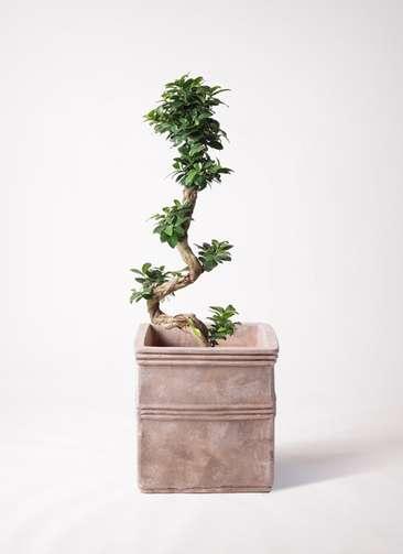 観葉植物 ガジュマル 8号 曲り テラアストラ カペラキュビ 赤茶色 付き