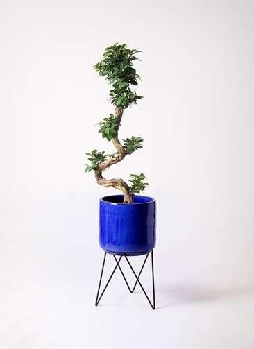 観葉植物 ガジュマル 8号 曲り ビトロ エンデカ 鉢カバースタンド付 ブルー 付き