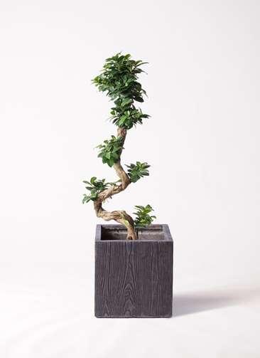 観葉植物 ガジュマル 8号 曲り ベータ キューブプランター ウッド 茶 付き