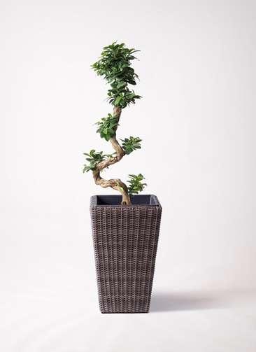 観葉植物 ガジュマル 8号 曲り ウィッカーポット スクエアロング OT 茶 付き