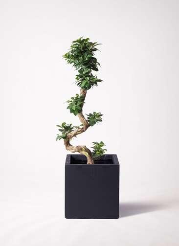 観葉植物 ガジュマル 8号 曲り ベータ キューブプランター 黒 付き