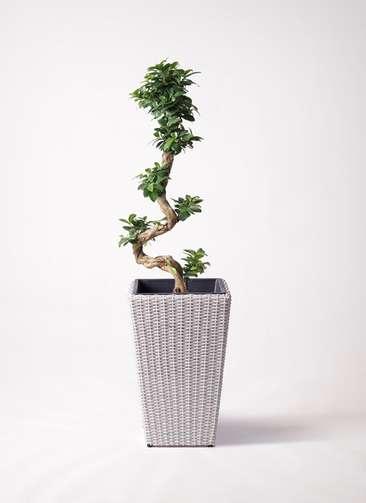 観葉植物 ガジュマル 8号 曲り ウィッカーポット スクエアロング OT 白 付き