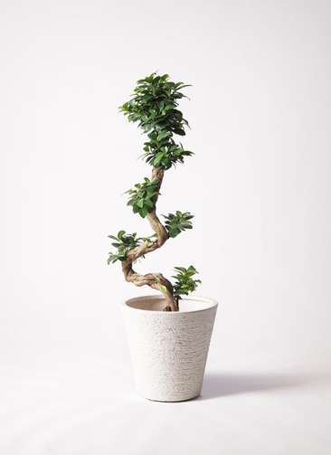 観葉植物 ガジュマル 8号 曲り ビアスソリッド 白 付き