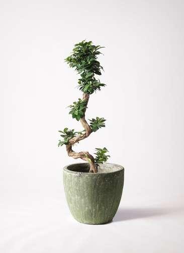 観葉植物 ガジュマル 8号 曲り アビスソニアミドル 緑 付き