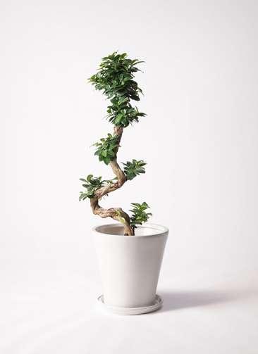 観葉植物 ガジュマル 8号 曲り サブリナ 白 付き