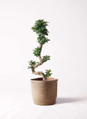 観葉植物 ガジュマル 8号 曲り リブバスケットNatural 付き