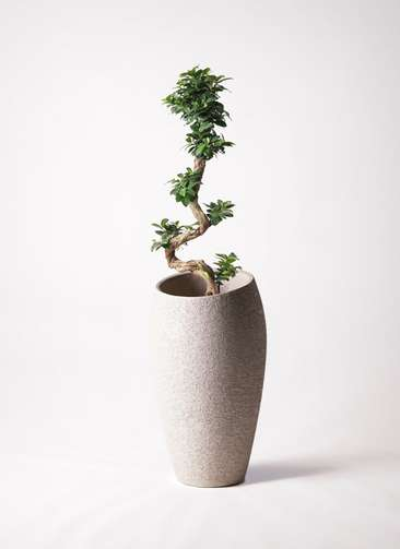 観葉植物 ガジュマル 8号 曲り エコストーントールタイプ Light Gray 付き