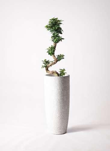 観葉植物 ガジュマル 8号 曲り エコストーントールタイプ white 付き