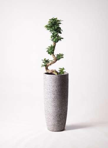 観葉植物 ガジュマル 8号 曲り エコストーントールタイプ Gray 付き