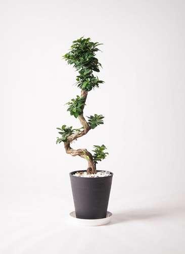観葉植物 ガジュマル 8号 曲り プラスチック鉢