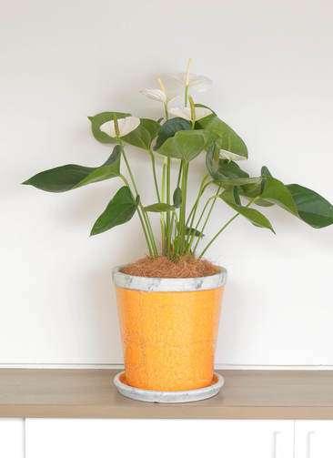 観葉植物   アンスリウム 6号 スミ アンティークテラコッタOrange 付き