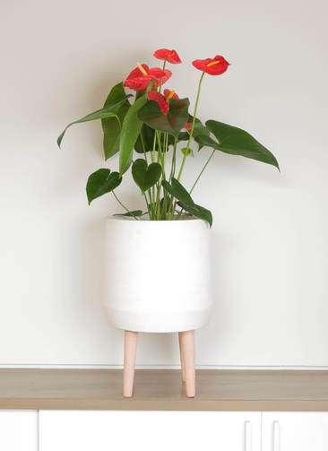 観葉植物 アンスリウム 6号 ダコタ ファイバークレイ white 付き
