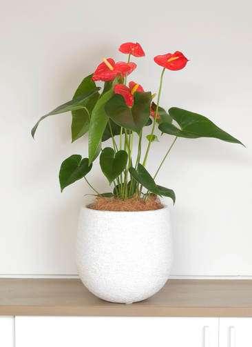 観葉植物 アンスリウム 6号 ダコタ エコストーンwhite 付き