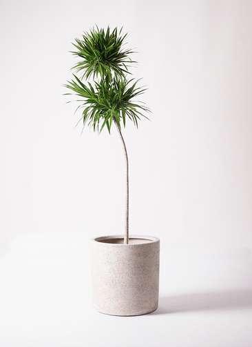 観葉植物 ドラセナ ナビー 10号 ストレート サンディ シリンダー 白 付き