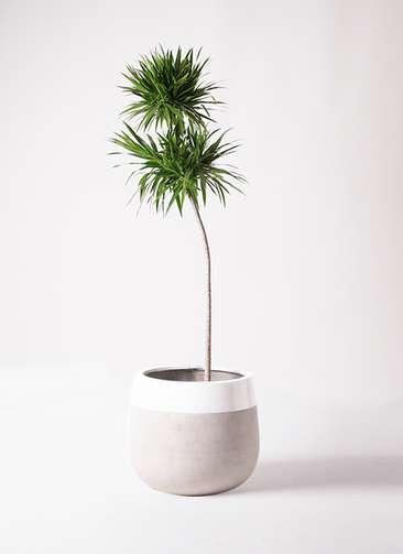 観葉植物 ドラセナ ナビー 10号 ストレート ファイバーストーンタウルス ミドル 白 付き