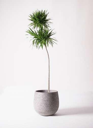 観葉植物 ドラセナ ナビー 10号 ストレート エコストーンGray 付き