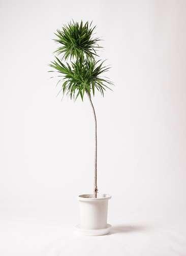 観葉植物 ドラセナ ナビー 10号 ストレート プラスチック鉢