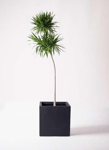 観葉植物 ドラセナ ナビー 10号 ストレート ベータ キューブプランター 黒 付き
