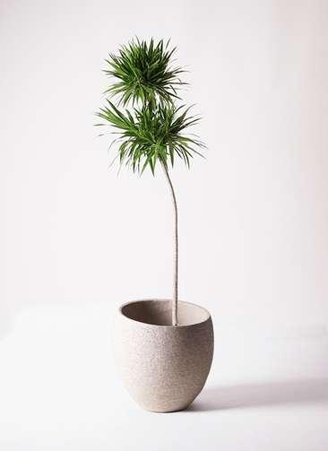 観葉植物 ドラセナ ナビー 10号 ストレート エコストーンLight Gray 付き