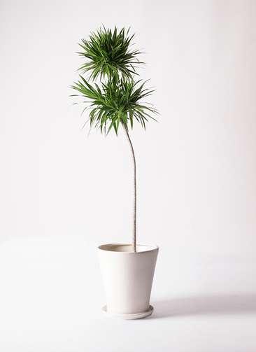 観葉植物 ドラセナ ナビー 10号 ストレート サブリナ 白 付き