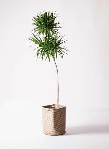 観葉植物 ドラセナ ナビー 10号 ストレート リブバスケットNatural 付き
