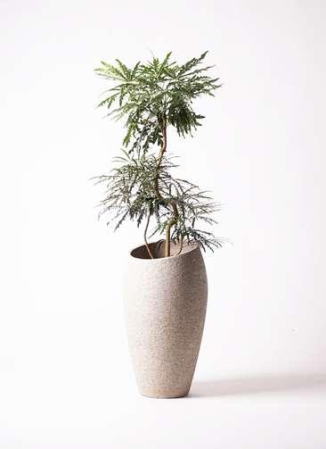 観葉植物 グリーンアラレア 8号 曲り エコストーントールタイプ Light Gray 付き