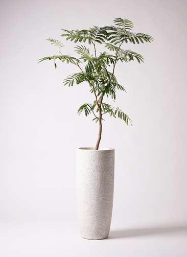 観葉植物 エバーフレッシュ 8号 ボサ造り エコストーントールタイプ white 付き