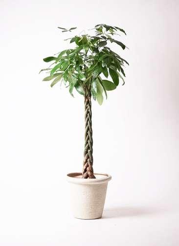 観葉植物 パキラ 10号 ねじり ビアスリムス 白 付き