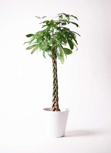 観葉植物 パキラ 10号 ねじり フォリオソリッド 白 付き