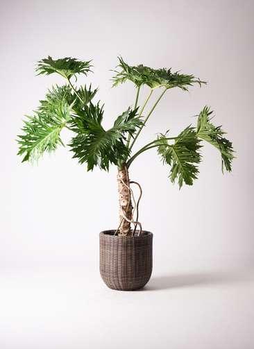 観葉植物 セローム ヒトデカズラ 8号 根あがり ウィッカーポットエッグ 茶 付き
