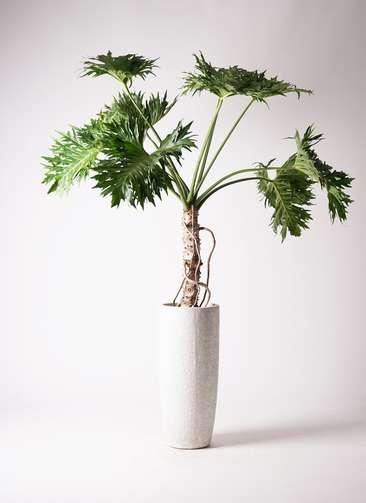 観葉植物 セローム ヒトデカズラ 8号 根あがり エコストーントールタイプ white 付き