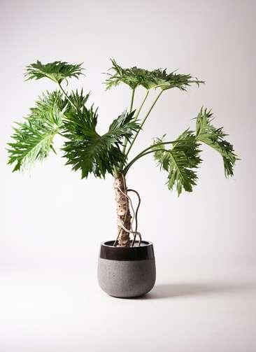 観葉植物 セローム ヒトデカズラ 8号 根あがり ファイバーストーンタウルス 黒 付き