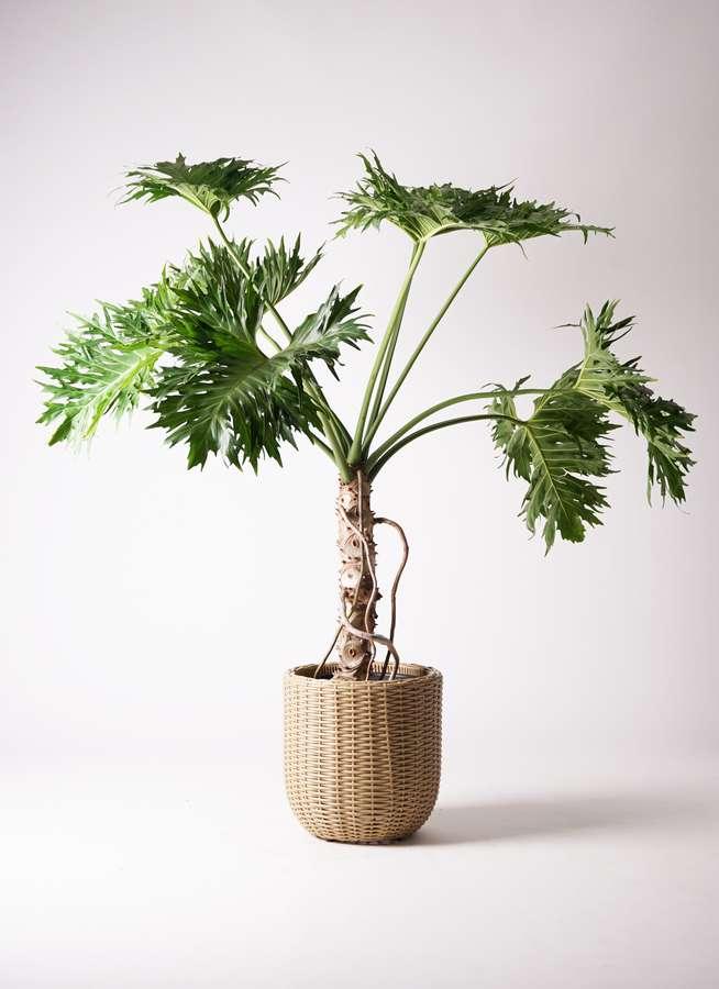 観葉植物 セローム ヒトデカズラ 8号 根あがり ウィッカーポットエッグ ベージュ 付き