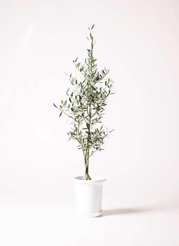 観葉植物 オリーブの木 8号 コロネイキ プラスチック鉢