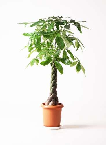 観葉植物 パキラ 8号 ねじり プラスチック鉢