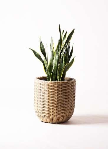 観葉植物 サンスベリア 8号 トラノオ ウィッカーポット エッグ NT ベージュ 付き