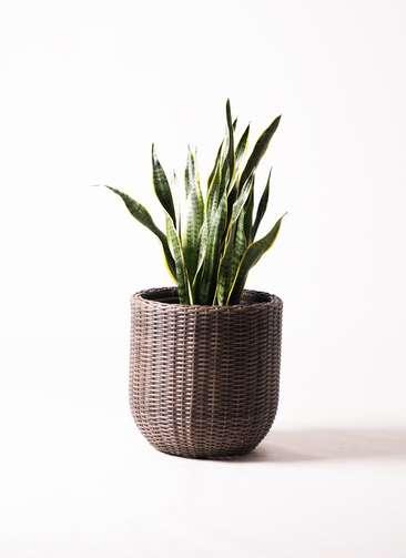 観葉植物 サンスベリア 8号 トラノオ ウィッカーポット エッグ NT 茶 付き