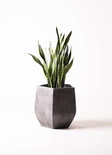 観葉植物 サンスベリア 8号 トラノオ ファイバークレイ Gray 付き