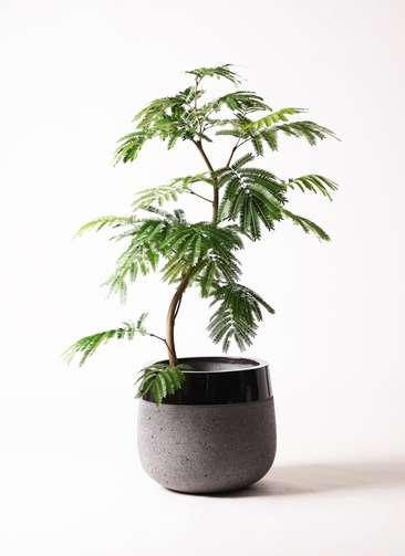 観葉植物 エバーフレッシュ 8号 曲り ファイバーストーンタウルス 黒 付き