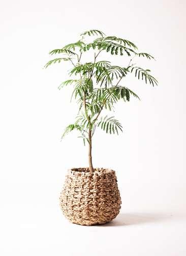 観葉植物 エバーフレッシュ 8号 ボサ造り ラッシュバスケット Natural 付き