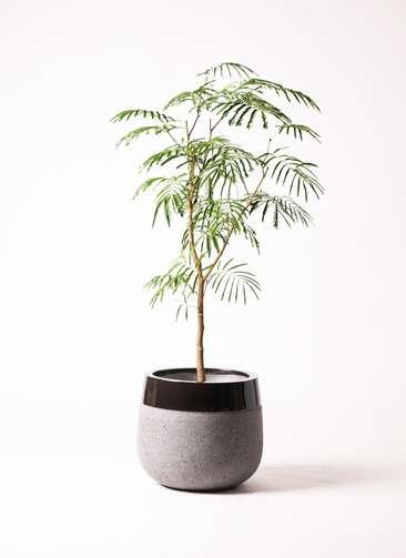 観葉植物 エバーフレッシュ 8号 ボサ造り ファイバーストーンタウルス 黒 付き