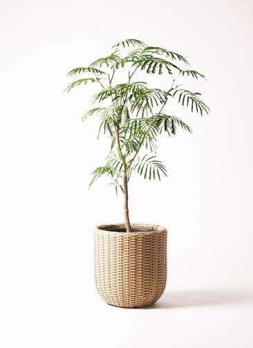 観葉植物 エバーフレッシュ 8号 ボサ造り ウィッカーポット エッグ NT ベージュ 付き
