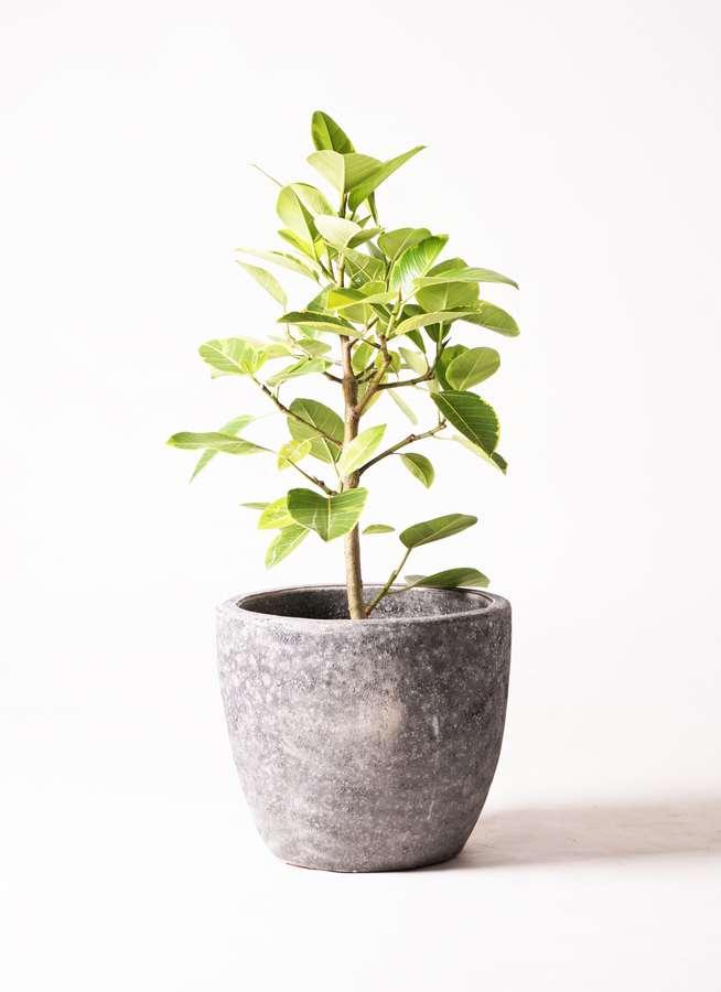 観葉植物 フィカス アルテシーマ 7号 ストレート アビスソニア ミドル 灰 付き